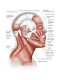 The Muscles of the Human Head, Used in Facial Expression Art