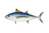 Albacore Posters