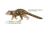 Spotted-Tailed Native Cat (Dasyurus Maculatus) Prints