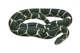Common Kingsnake Posters