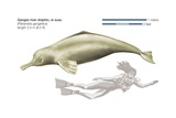 Ganges River Dolphin (Platanista Gangetica) Prints