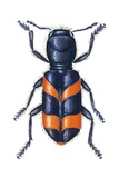 Checkered Beetle Posters