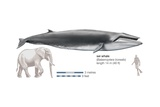Sei Whale (Balaenoptera Borealis) Posters