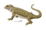 Tuatara (Sphenodon Punctatus) Prints