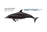 Rough-Toothed Dolphin (Steno Bredanensis) Prints