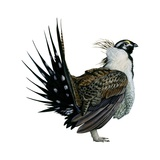 Sage Grouse Art