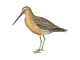 Short-Billed Dowitcher Print