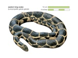 Eastern King Snake (Lampropeltis Getula Getula) Prints