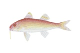 Spotted Goatfish Posters