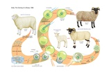 The Process Through Which Dolly, a Female Finn Dorset Sheep Posters