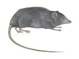 Rat Opossum Poster