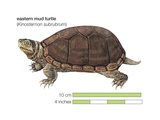 Eastern Mud Turtle (Kinosternon Subrubrum) Print