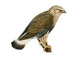 Rough-Legged Hawk Prints