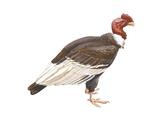 Condor des Andes Art
