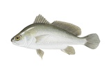 Freshwater Drum Posters