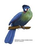 Hartlaub's or Blue-Crested Turaco (Tauraco Hartlaubi) Posters