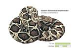 Eastern Diamondback Rattlesnake (Crotalus Adamanteus) Prints