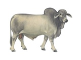 Brahman Bull Art