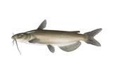 Channel Catfish Prints