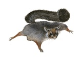 Flying Squirrel Poster