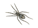 Forest Wolf Spider Posters