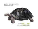 Galapagos Giant Tortoise (Geochelone Nigra) Art