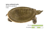 Spiny Softshell Turtle (Apalone Spinifera) Posters
