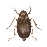 May Beetle Prints