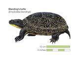 Blanding's Turtle (Emydoidea Blandingii) Poster