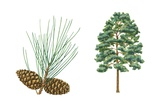 Shortleaf Pine Tree Posters