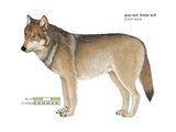 Gray or Timber Wolf (Canis Lupus) Poster