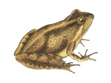 Cricket Frog Prints