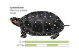 Female Spotted Turtle (Clemmys Guttata) Art