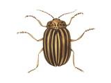 Colorado Potato Beetle Poster