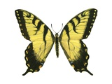 Tiger Swallowtail Prints