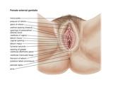 The Human Female External Genitalia Posters