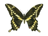 Giant Swallowtail Art