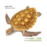 Green Turtle (Chelonia Mydas) Prints