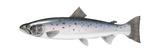 Atlantic Salmon Posters