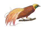 Bird of Paradise Prints