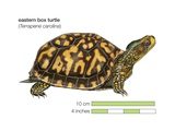 Eastern Box Turtle (Terrapene Carolina) Prints