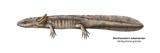 Northwestern Salamander (Ambystoma Gracile) Posters