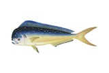 Dolphinfish Prints