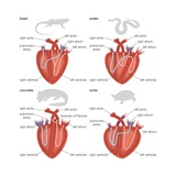 Types of Reptilian Hearts: Lizard, Snake, Crocodile, and Turtle Affiches
