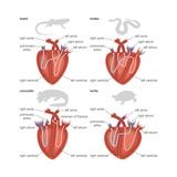 Types of Reptilian Hearts: Lizard, Snake, Crocodile, and Turtle Kunstdrucke