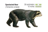 Spectacled Bear (Tremarctos Ornatus) Prints