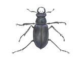 Stag Beetle Prints