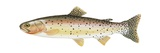 Cutthroat Trout Posters