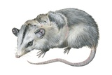 Virginia Opossum Prints