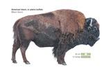 American Bison (Bison Bison) Prints